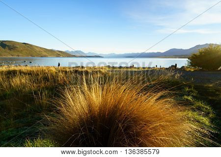 A tuft of tussock grass with Lake Tekapo in the background.