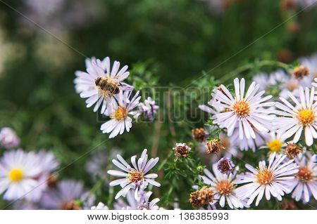 The bumblebee sitting on daisies. A bumblebee close up on a flower. Violet flowers and bumblebee.