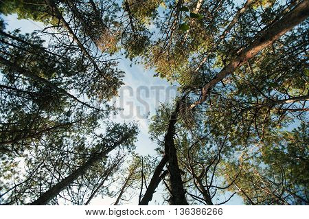 Tops of trees and sky. The mixed wood. wood and sky. The bottom view on tops of trees. The sky through trees.
