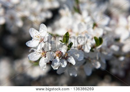 White spring flowers. Rain drops on the blossoming tree.