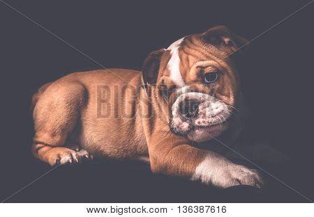 English Bulldog Puppy Portrait