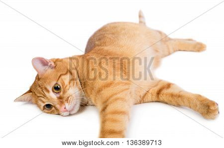 Red cat is resting on a white background isolated