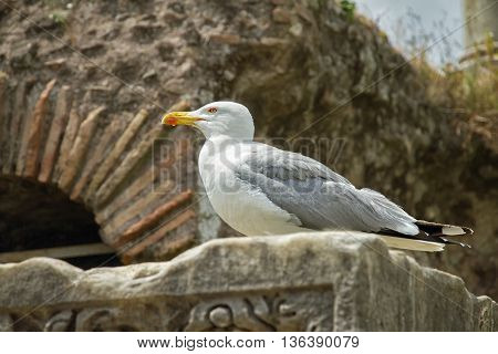 Big seagull sits on a stone in the Roman Forum Italy