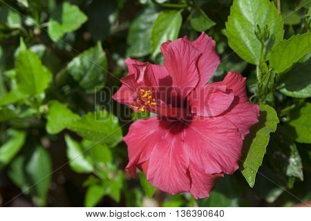 Big Red Hibiscus flower close-up on a bush