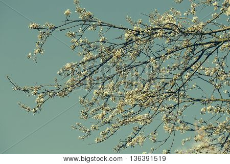 Tree in white blossom over the blue sky