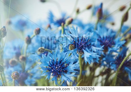 Floral background of fresh blue cornflower flowers background with soft shine. Summer blossom concept. Place for text copy space.