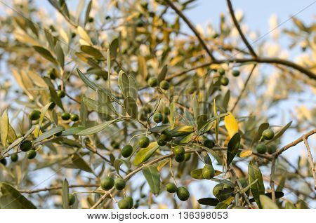 Good crop of healthy green olives ripening on a tree in a close up view against a sunny blue sky.