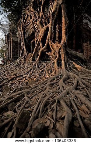 Ancient cambodian temple covered with banyan roots