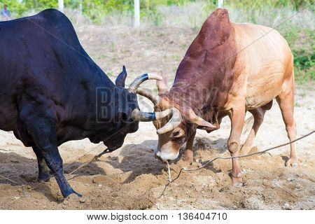 Cow Fighting Traditional Game In Thailand