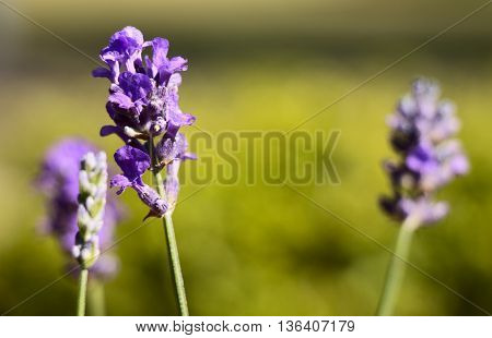 Beautiful summer lavender blooming against a simple background great copyspace.