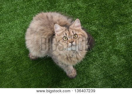 Cute persian cat looking up on green grass