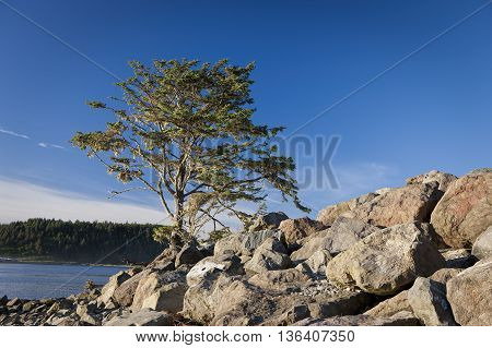 A single picturesque tree stands by rocks in La Push Washington.