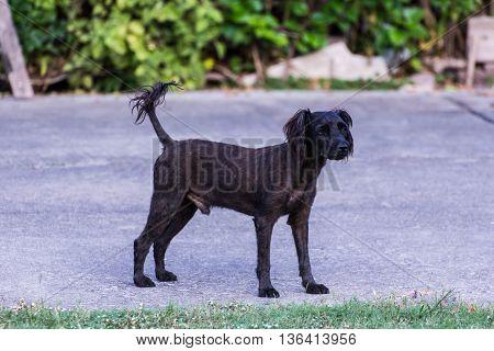 thai black stray dog on street , pet