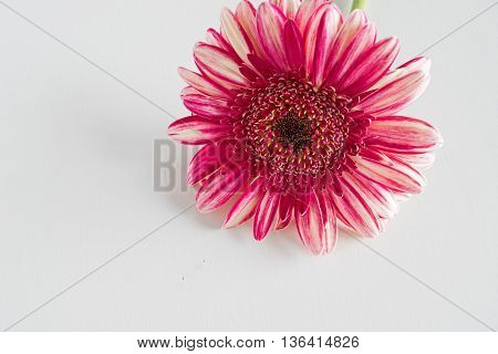 pink gerbera flower close up isolated on white background