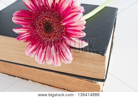 Pink Gerbera daisy flower at book close up isolated on white