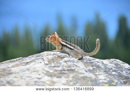 Golden-mantled Ground Squirrel Is A Type Of Ground Squirrel Found In Mountainous Areas Of Western No