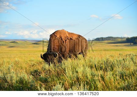 Bison In Valley At Yellowstone National Park