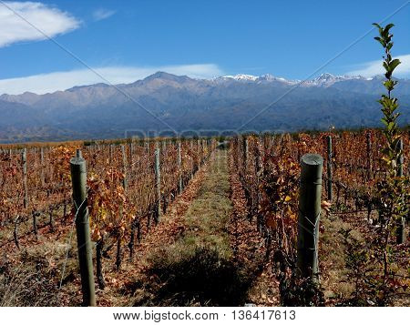 LANDSCAPE VINEYARD IN BODEGA ARGENTINA. ANDES MOUNTAINS