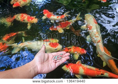 Hand holding fish food with fish pond background