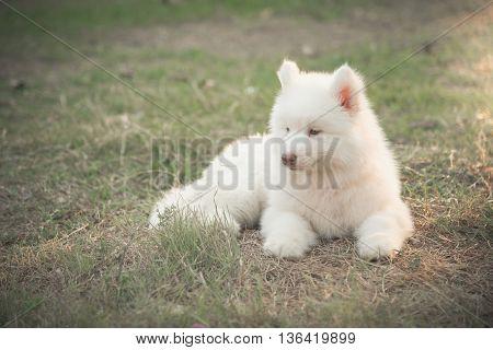 Cute little white siberian husky puppy lying on green grass