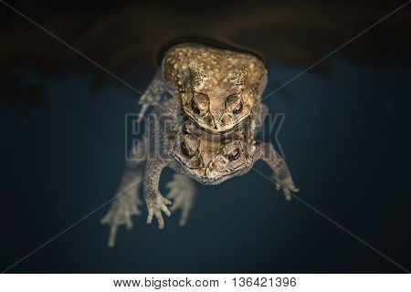 Close up Mating toads in the water