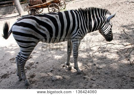 Zebra in the park under the shade of trees.