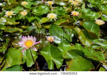 Beautiful waterlily or lotus flower on the farm ,Thailand.