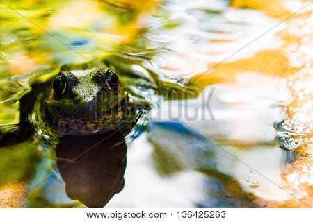 Bullfrog staring at the camera in the water