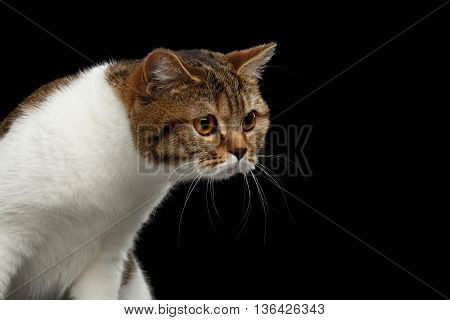 Funny Scottish Straight Male Cat Raising Head on Isolated Black Background, Front view, Curious Looks, Spot with white Cat