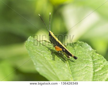 Grasshopper on a green leaf, select focus closeup
