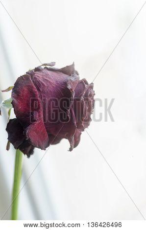 Close-up  Of A Rose.