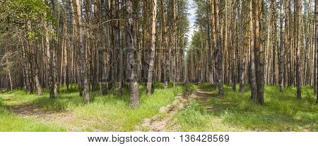 Pine forest in sunny summer day. Panorama.
