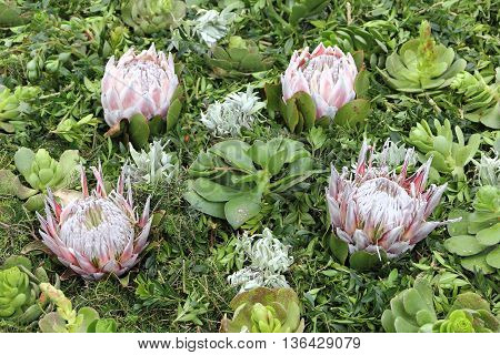Arrangement with Succulents and Protea at the Madeira Flower Festival; selected focus narrow depth of field