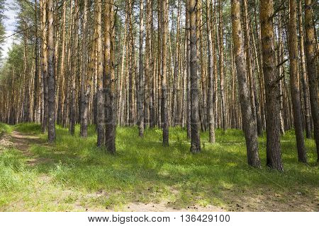 Pine forest in sunny summer day ,
