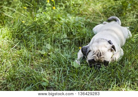 Small Puppy Pug  On The Grass