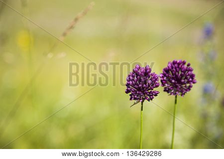 Purple flowers in a meadow close-up ,