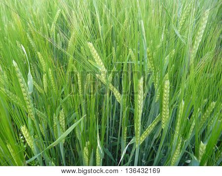 Detail Of A Green Barley On A Field