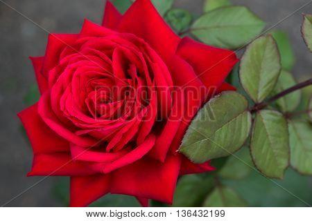the petals big bud of a red rose closeup