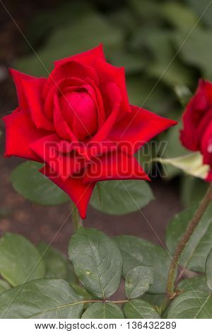 the red rose blossom in the garden
