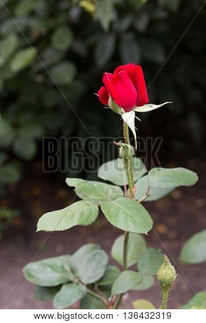Soon the red rose bloom in the garden