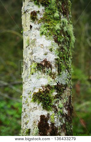 a picture of an exterior Pacific Northwest forest alder tree trunk with moss