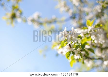 Apple tree blossoms on a sunny day with a clear, blue sky backdrop