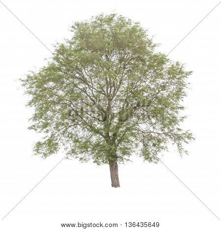 Tamarind tree (Tamarindus indica) tropical tree in the northeast of Thailand isolated on white background