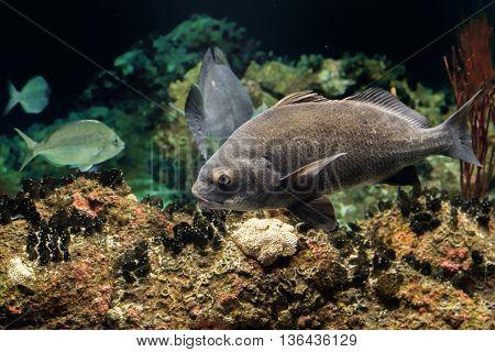 Black Drum Atlantic Ocean Fish Underwater Close Up