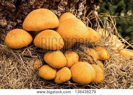 Tree Honey Fungus (Armillaria) growing on the stump of a pine tree.
