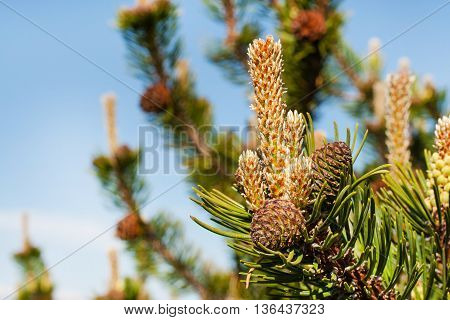 Vibrant background with close-up branch of pine tree with new needles and pine cones