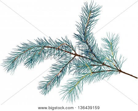 illustration with pine branch isolated on white background