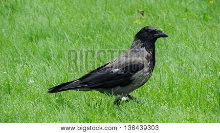 Grey big raven on a green meadow looking around