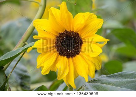 Beautiful yellow flower of a sunflower bloomed in a field in summer