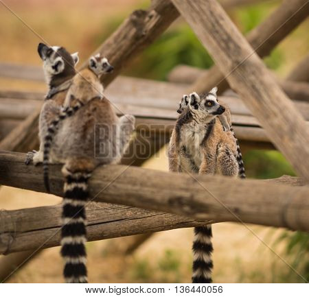 Family Of Lemurs Playing On Playground